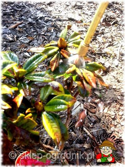zielony busz oprysk rododendrona