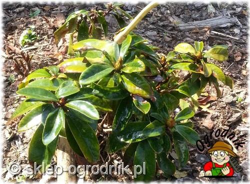 oprysk rododendrona zielonym buszem